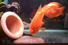 Large lovely parrot fish