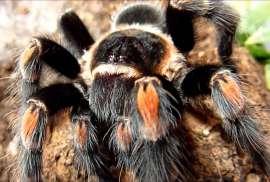 Brachypelma Spider