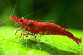 Cherry Red Shrimp Tropical Neocaridina