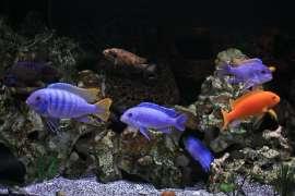 Breeding pair F1 Taiwan Reefs (Malawi)