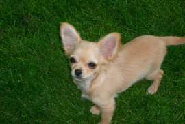 Gorgeous Cream Chihuahua, Stunning cream