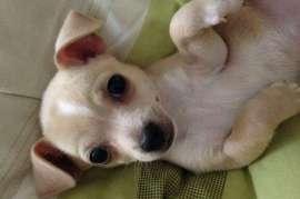Gorgeous Cream Chihuahua, Stunning cream