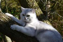 Sweet British Shorthair Silver Shaded
