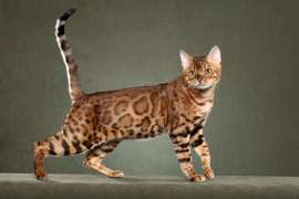 Pure Pedigreed Bengal Kittens