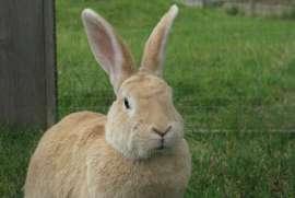 Large lop eared bun