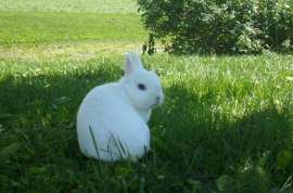 White Netherland Dwarf Rabbit