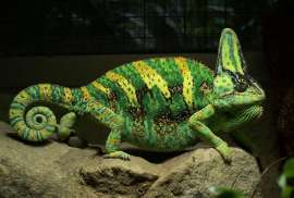 Veiled Chameleon