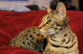 F3 Savannah , from premium lines breeding