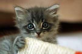 Blue Grey Male Kitten Wanted