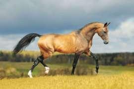 Stallion Liman