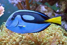 Blue Hippo Tang