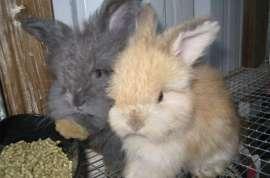 Tail Spin Farm English Angora Rabbits